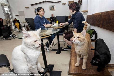 a purrfect place to unwind britain s cat cafe set to open in daily mail
