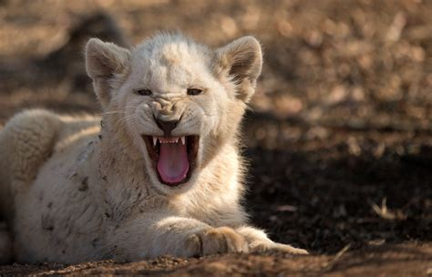 Pictures Of White Lions Roaring Impremedianet