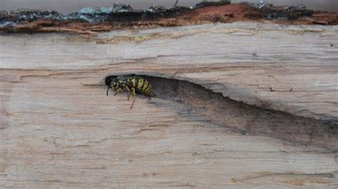 wespen im winter was geschieht mit ihnen - Wespen Im Winter