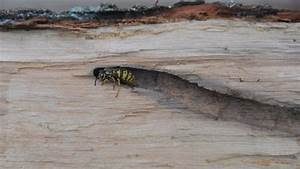 Was Machen Wespen Im Winter : wespen im winter was geschieht mit ihnen ~ Lizthompson.info Haus und Dekorationen