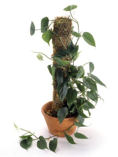 Philodendron Arten Bilder by Frische Pflegeleichten Zimmerpflanzen Die Das Interieur