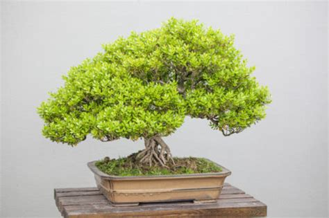5 Tips For Buying An Indoor Bonsai Tree