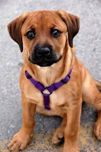 25+ best ideas about Boxer Rottweiler Mix on Pinterest ...
