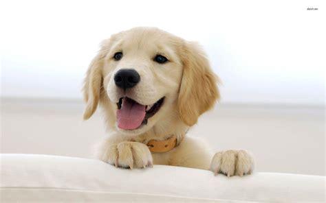 Golden Retriever Puppy Wallpaper by Golden Retriever Wallpapers Wallpaper Cave