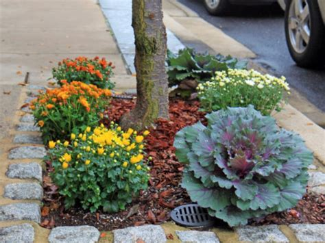 planting chrysanthemums in the fall plant kale mums for fall garden colors patch