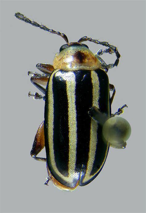Flea Beetles of North Dakota
