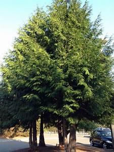 Excelsa Western Red Cedar - http://www.gardenanswers.com ...