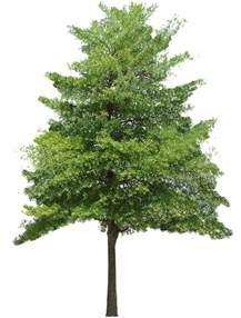 texture hazel tree small trees lugher texture library