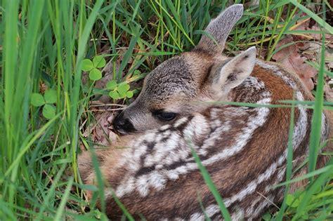red deer  ecology