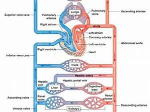 Circulatory System Of A Mammal By Samdwyer