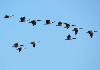 Where Do Canadian Geese Migrate To?  Canadian Geese Migration