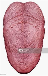 Illustration Of Human Tongue And Taste Buds Stock Illustration