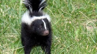 Animals Skunk Names Known Lesser Animal Skunks