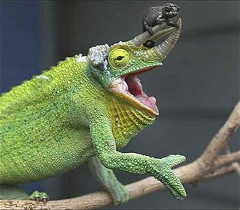 types of chameleons chameleon animal wildlife