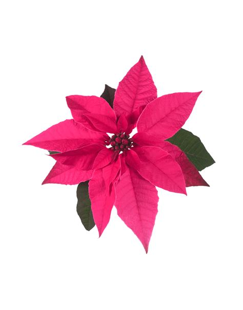 poinsettia pink princettia ultra pink compact pink white euphorbia poinsettia 2 0