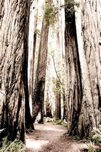 Forest Trees California Redwoods