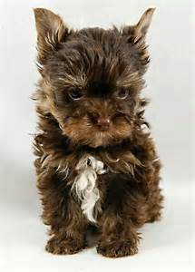 Fuzzy Teddy Bear Puppies