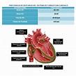"""K ️⚕ on Twitter: """"El sistema de conducción cardiaco son ..."""