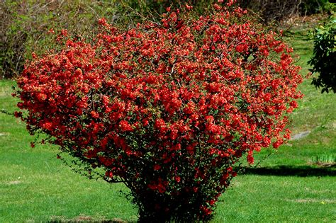 Flowering Quince Shrubs
