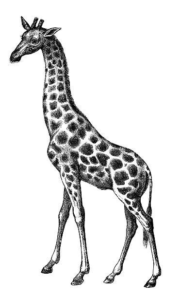 Please use and share these clipart pictures with your friends. Giraffe Black And White Illustrations, Royalty-Free Vector ...