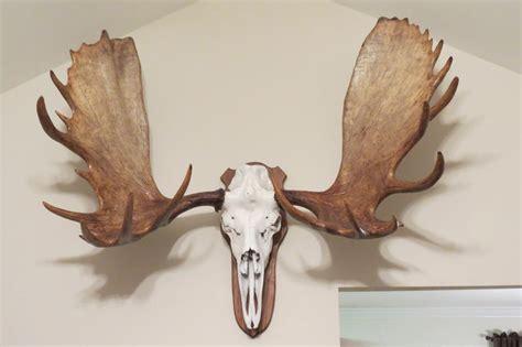 european moose head hunting