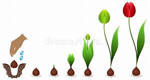 Growth Cycle Tulip Stock Vector  Illustration Of