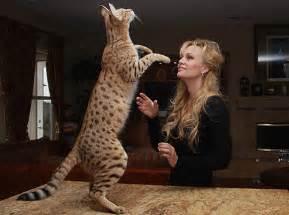 how big do bengal cats get bengal cat purrfect bengals