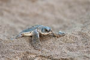 Baby Atlantic Green Sea Turtle