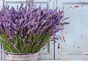 Wann Schneidet Man Hortensien Zurück : lavendel schneiden wann lavendel schneiden wann ist der richtige zeitpunkt lavendel richtig ~ Eleganceandgraceweddings.com Haus und Dekorationen