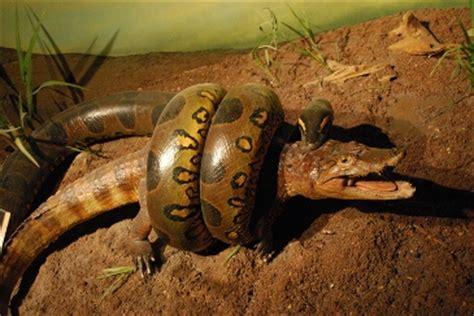 Anaconda gigante capturada tras comer un perro • Videos de