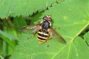 Kleine Fliegen In Blumen : insekt mit r ssel wie hei t das 4 5 mm gro e insekt mit ~ Lizthompson.info Haus und Dekorationen