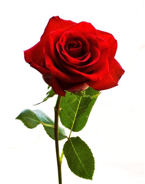 bunga cantel merah 3batang morfologi bunga mawar biology smart