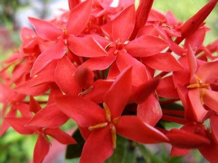 tanaman asoka daftar tanaman hias