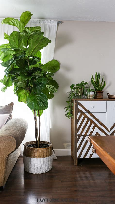 fiddle leaf fig tree how to care for a fiddle leaf fig tree hawthorne and 8901