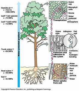 How Transpiration Pull Occurs In Plants