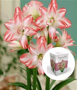Amaryllis In Wachs : bl hende zimmerpflanzen online kaufen baldur garten ~ Lizthompson.info Haus und Dekorationen