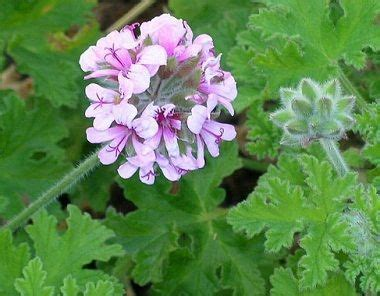 lemon scented geranium care 17 best ideas about geranium plant on pinterest geranium care care care and geraniums