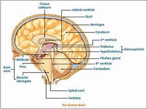 Diagram Of The Human Brain Parts 4   Biological Science