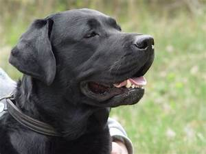 Most Beautiful Mixed Breed Dogs  Top 7 Black Labrador Retriever