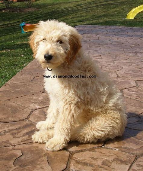 wheaten terrier mix shedding wheaten terrier poodle mix car interior design