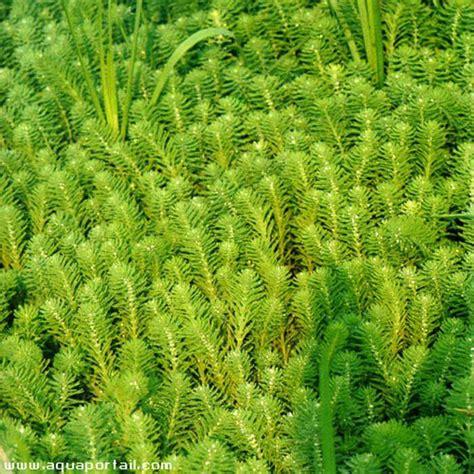 Myriophyllum Aquaticum (myriophylle Aquatique, Myriophylle