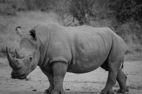 black and white south six top 10 animals that could disappear forever