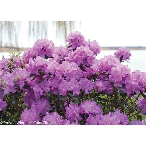 proven winners amy cotta rhododendron  shrub purple