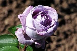 Mainzer Fastnacht Rose : rosarium sangerhausen rosen 3 ~ Orissabook.com Haus und Dekorationen