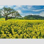Field Yellow Fl...