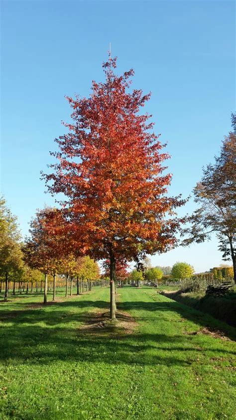 quercus palustris woodside splendor van den berk