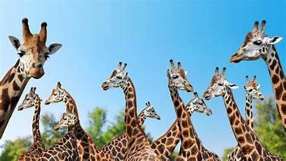 Giraffe Animals Wild Background Laptop 5k Desktop