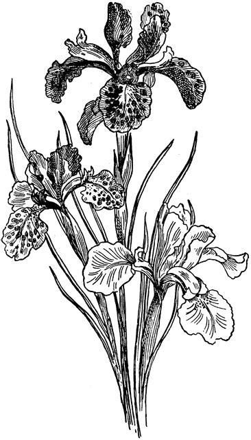 iris clipart