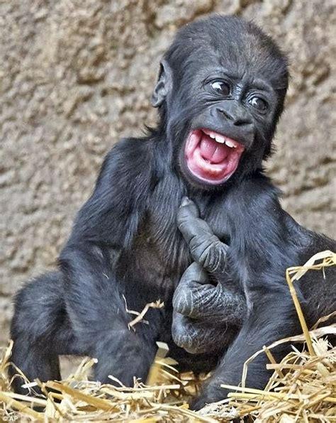 Gorilla Orangutan