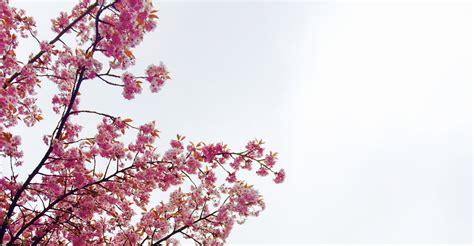 Cherry Blossom Image by Cherry Blossom Tree 183 Free Stock Photo